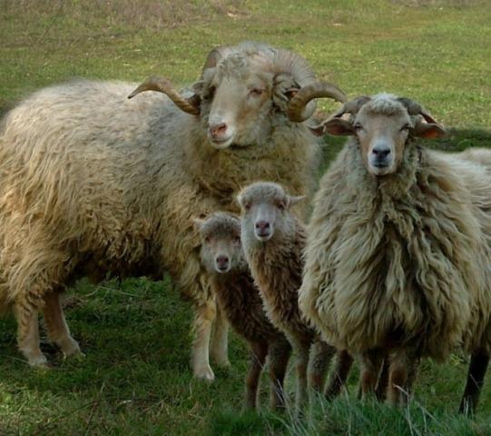 Овцы породы шурра да терра кенте или терринша