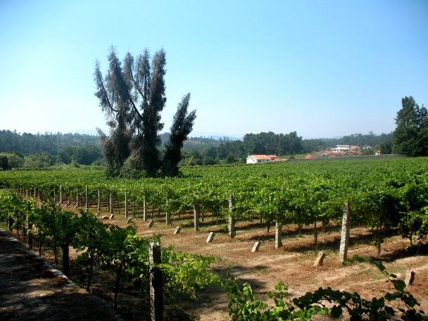 Зеленые вина, алваринью, виноградники