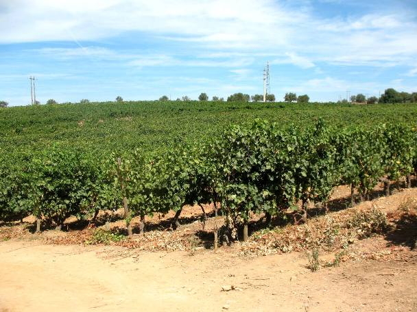 Виноградники Quinta do Mouro