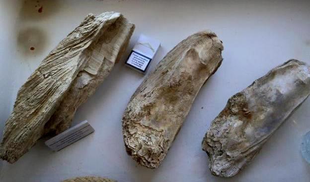 Устричные предки в виде окаменелостей возрастом порядка 250 миллонов лет назад, найденные в районе реки Саду.