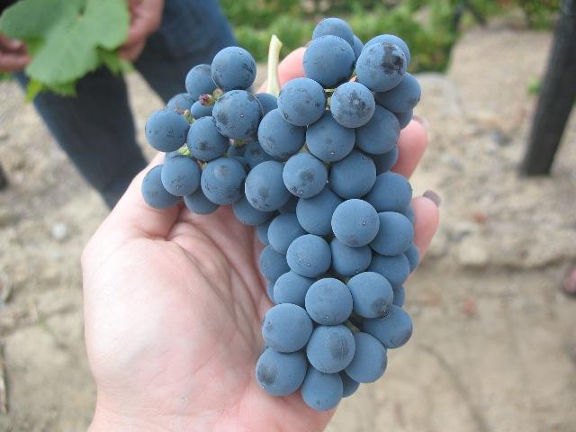 Листья португальских сортов винограда Торига Насионал и Тинта Рориш