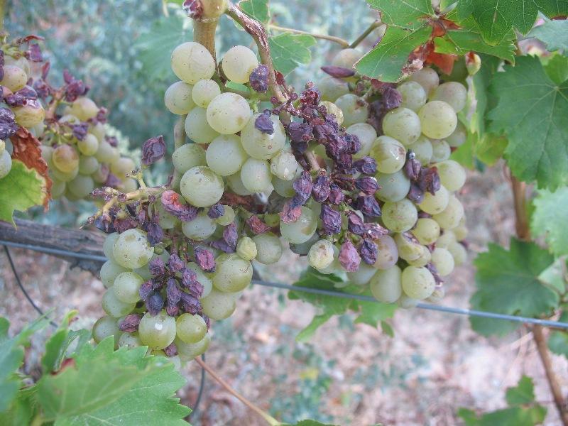 Виноград побитый градом