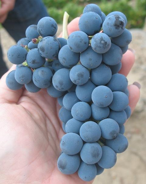 Touriga Nacional Тоурига Насионал - автохтонный португальский сорт винограда