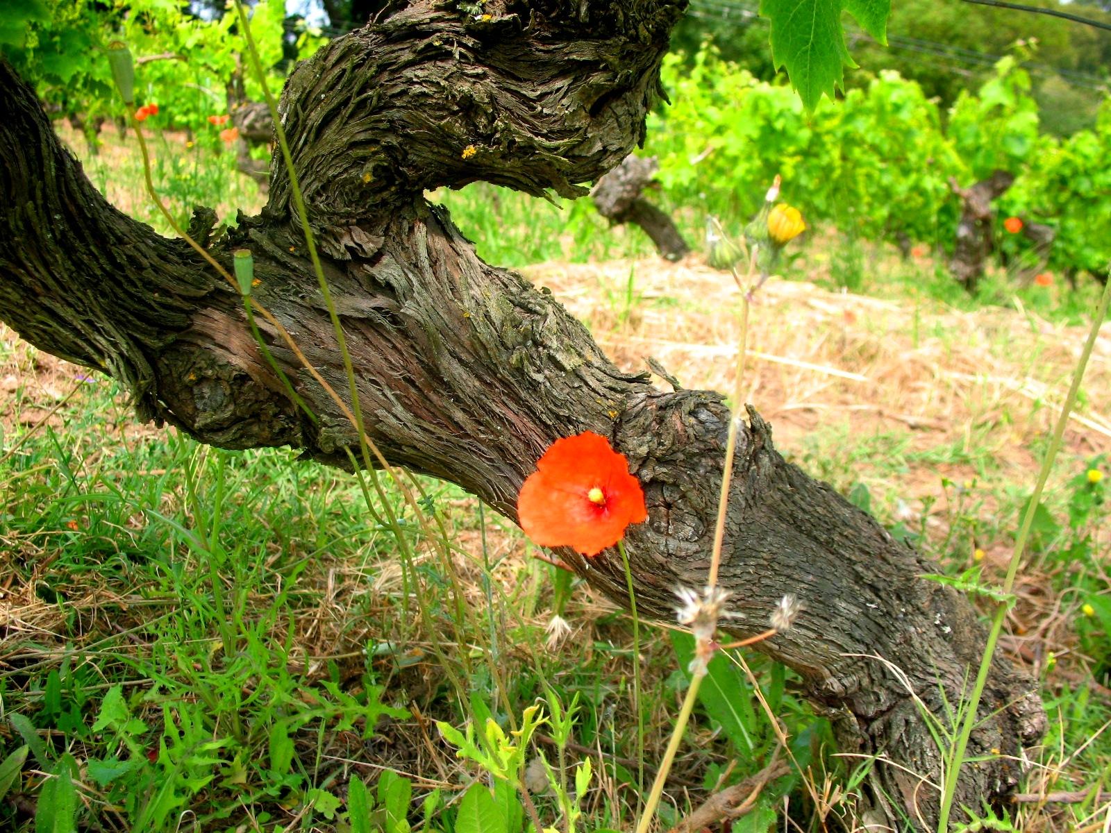Во время прогулки по виноградникам Вы узнаете много интересного