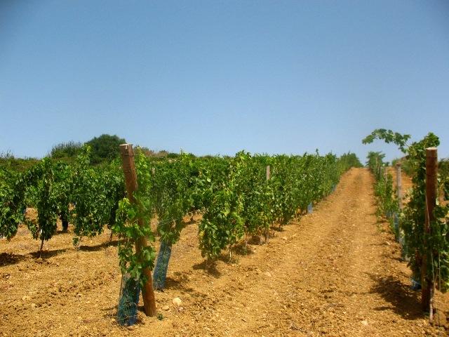 Виноградники ManzWine