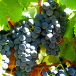 Дегустации Португальские сорта винограда