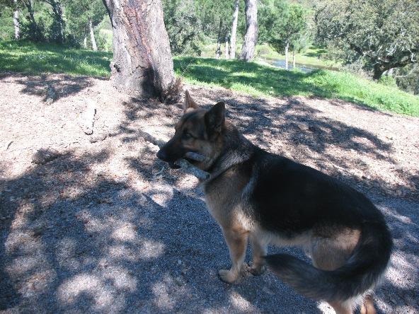 Неру - уже большой, но игривый годовалый щенок немечкой овчарки развлекал всех присутствющих