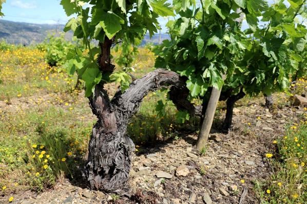 Old vines in Douro Superior